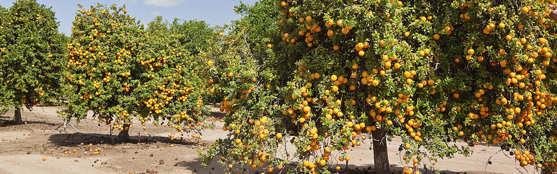Citrus grove at the University of California, Riverside (UCR)