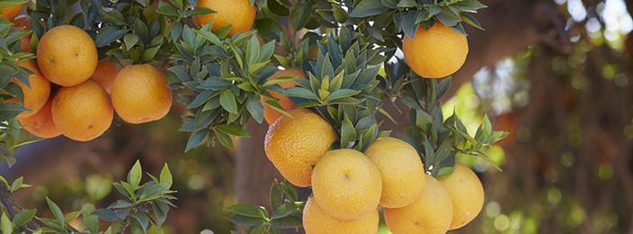 TasteTrek Citrus, Brazil