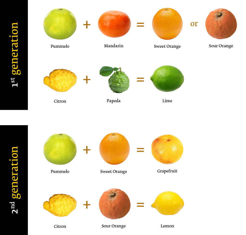 Citrus origins, 1st and 2nd generation