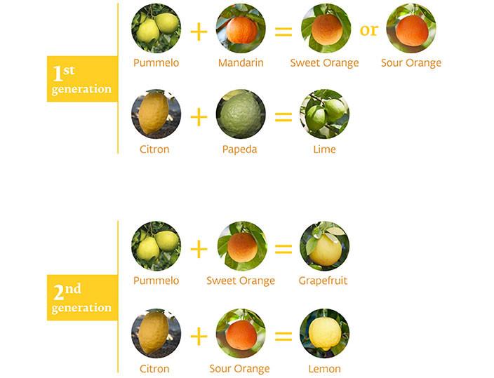 Citrus Varieties of the World