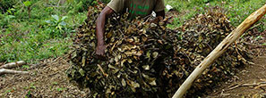 Clove leaf transport, Madagascar
