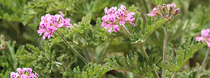 Geranium in Egypt